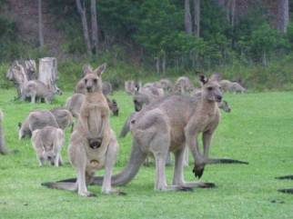 Kangaroos can often be seen grazing at the Park entrance and on the clifftop adjacent to our Retreat