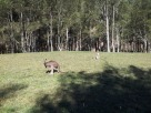 Kangaroos at Maloneys Beach Murramarang NP