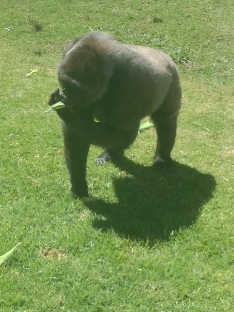 Mogo Zoo's newest edition, a beautiful gorilla family from Taronga Zoo!