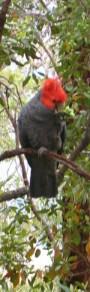 ganggang cockatoo