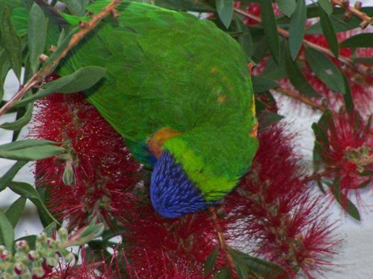 lorrikeet enjoying our bottlebrush