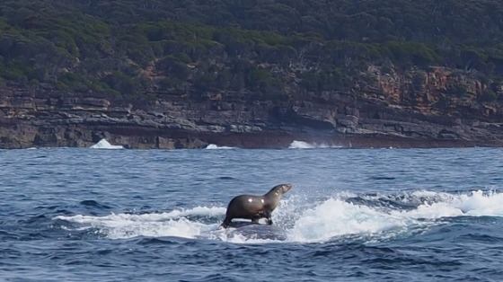 Seal rides whale off the NSW South Coast